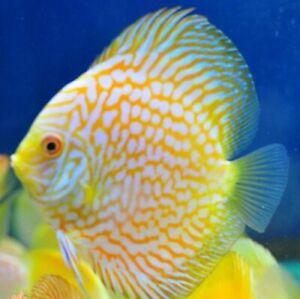 OFFER 6 X DISCUS, discus tropical tank fish live aquarium tank fish sales