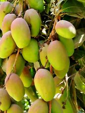 A Special Blend Of Fertilizer For Mango Trees Only