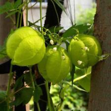 5 pcs Balloon Vine (Cardiospermum Halicacabum) flower seeds