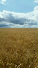 Soft Red Winter Wheat, Cleaned, Whole Kernels/Berries, Poultry & Wild Bird feed+