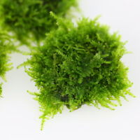 "3""x3"" Taiwan Moss Pad- Live Aquarium Fish Tank Plants Shrimp Low Light Tropical"