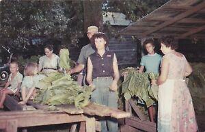 Tobacco Farming in AMERICA Stripping Tobacco Postcard