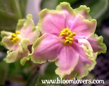 African violet PLUG starter plant GREEN LACE SPORT