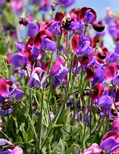 FLOWER SWEET PEA OLD SPICE CUPANI 40 FINEST SEEDS