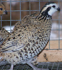 25 Mexican Speckled Quail Hatching Eggs
