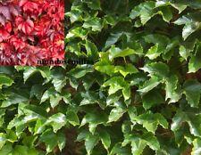 Parra Virgen - Parthenocissus Tricuspidata - enredadera - 50 semillas frescas