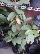 Vietnamese Guava - 2 to 3 Feet Tall - Ship in 1 Gal Pot
