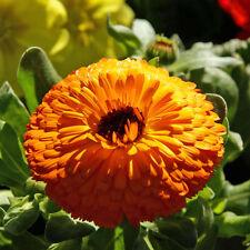 40+ Calendula Orange Brown - Eye Flower Seeds / Deer Resistant / All Zones