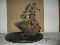 Pre Bonsai Birke in eine 200 Jahre alte Wurzel gepflanzt Yamadori Höhe 38 cm