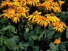 Ligularia dentata 'Desdemona' 50 seeds