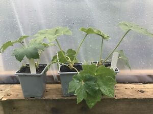 Tetrapanax Papyrifer THE ONLY GENUINE STEROIDAL GIANT ON EBAY