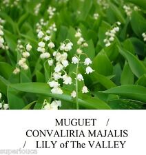 MUGUET de Mai CONVALLARIA MAJALIS LILY of The VALLEY FRAGANT 10 Seed + FREE GIFT