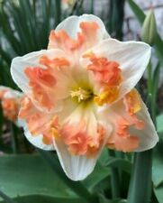 Daffodil Narcissus Bulbs Perennial Resistant Sunny Girlfriend Butter Fly Flower