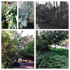 12 + Mulberry tree cuttings, fresh