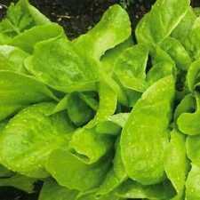 Seeds Sorrel Odessa 17 Vegetable Organic Heirloom Russian Ukraine