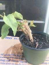 Bonsai Tree. Bougainvillea Bonsai Nice Thick Trunk (Red Flowers When In Bloom