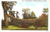 "FLORIDA - Horticulture: ""Flame Vine"" - Bignonia  / Pyrostegia Venusta - 1931"