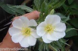 Oenothera pallida 'Innocence  White Evening Primrose Flower  HP 400 seeds