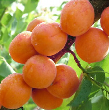 2Pcs Tree Apricot Fruit Seeds Ordinary Pereninal Sweet Tasty Nectarine Garden