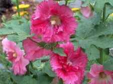 Hollyhock Chaters Double Mix Seeds Easy Care Large Pink Flower Drought Tolerant