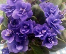 African violet PLUG starter plant CAJUN'S MCKENNA TRAIL