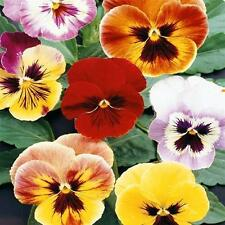 Viola-Pansy Aaslmeer King Size Seed Mix Annual Large Flowers Bright Colours