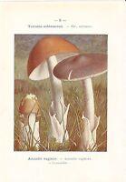 1921 Botany Imprimé~Champignon~Amanite Vaginee
