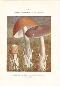 1921 Botanik Aufdruck ~ Pilz ~ Amanite Vaginee