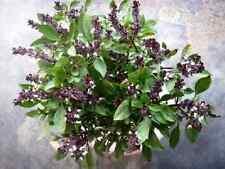 A 0.3g (approx. 190) Thai basil seeds OCIMUM BASILICUM VAR. THYRSIFLORA Heirloom