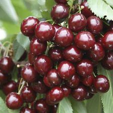 Spring Tree Cherry Fruit Plants