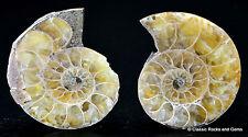 Ammonit Paar Fossil 2 Polierte Hälften Cleoniceras besairiei Madagaskar 32.3 mm