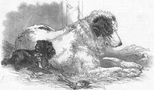 DOGS. Great St Bernard Dog, antique print, 1847