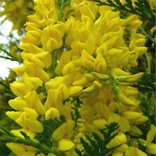 Scotch Laburnum (L. alpinum) 25 Seeds Frost Tolerant Deciduous Bushy Tree
