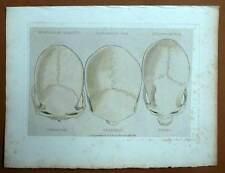 PHRENOLOGIE DES DIFFERENTES ETHNIES gravure estampe aquarellee Cuvier 1829
