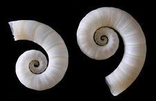 "Rams Horn Squid~Spirula Spirul ~ 3/4"" - 1""~ Specimen Seashell (5 Pcs.)"