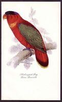 1940s Vintage Blac-Capped Lory Parrot Bird Art Print