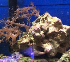 New listing live coral colony wysiwyg Kenya Tree Colt Coral Rock