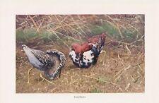 Kampfläufer (Philomachus pugnax) Schnepfe Vogel Farbdruck 1911