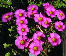 Flowers Purpure  Kalanchoe 100 PCS Home Bonsai Planting Summer Perennial Garden