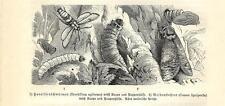 Stampa antica FARFALLE Trochilium Cossus BUTTERFLIES 1891 Old antique print