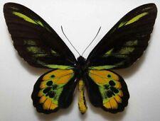 Ornithoptera rothschildi dark male from Arfak 104mm  (mounted)