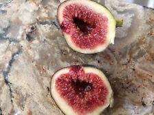 Black Madeira Fig tree Cuttings - 3 cuttings
