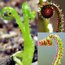 100Pcs Drosophyllum Seeds DIY Garden Carnivorous Plant Potted Bonsai Decor CA