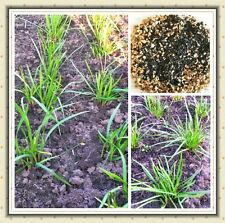 Schnittknoblauchsamen-Chinesisch(Jiu Cai Zi),  60 Samen  Allium Tuberosum NEU