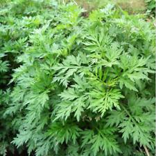 1000pcs Wormwood Seeds Artemisia Absinthium Pest Repellent Medicinal Herb US