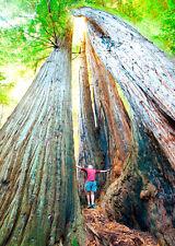 3D Lenticular Postcard - Coast Redwoods California -Greeting Card