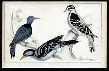 BLACK-BREASTED, HAIRY AND RED-COCKADED WOODPECKERS - Birds 1850 ENGRAVING