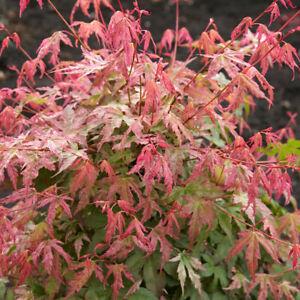 Japanese Maple, Acer palmatum 'Phoenix' in a 15cm Pot