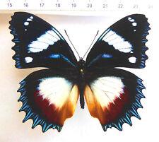 Nymphalidae, hypolimnas Dexithea machos ex Madagascar, n524