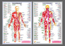 MAJOR MUSCLES Anatomy Professional Fitness Wall Charts 2 Poster Set
